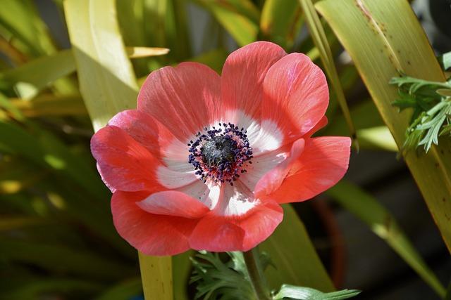 Flower, Plant, Red Anemone, Nature, Garden, Green Leaf