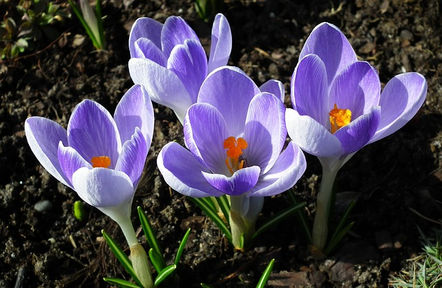 Flower, Crocus, Nature, Plant, Garden, Blooming