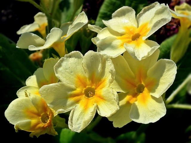 Flower, Primula, Yellow, Plant, Nature, Garden, Floral