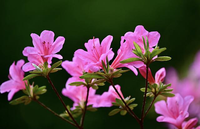 Rhododendron, Bush, Garden, Plant