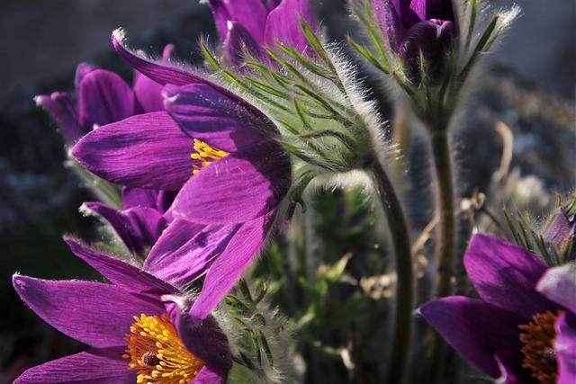 Violet, Sasanka, Plant, Spring, Garden, Hdr