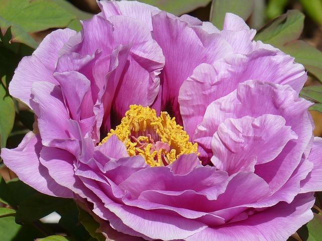 Garden, Peones, Gardening, Floral, Plant, Natural