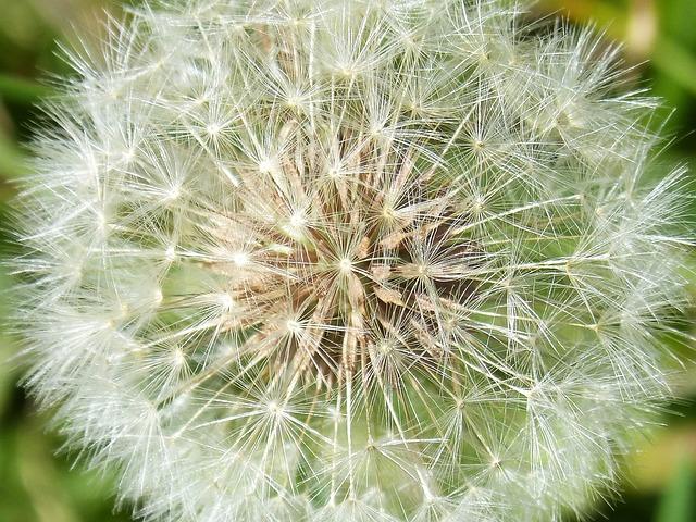 Dandelion, Seeds, Angelitos, Plant Geometry, Nature