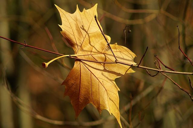 Leaf, Nature, Plant, Autumn, Season, Tree, Golden