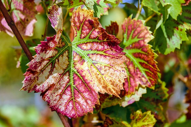 Wine Leaf, Leaf, Color, Grapevine, Plant, Winegrowing