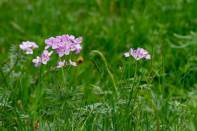 Cuckoo Flower, Flower, Nature, Field, Grass, Plant