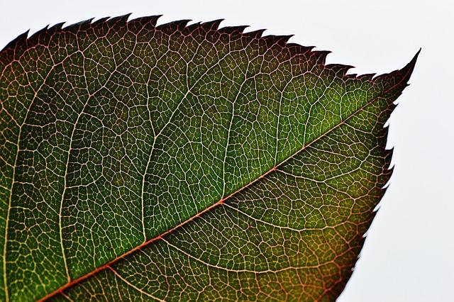 Rosenblatt, Green, Plant, Leaf, Flower, Macro, Close Up