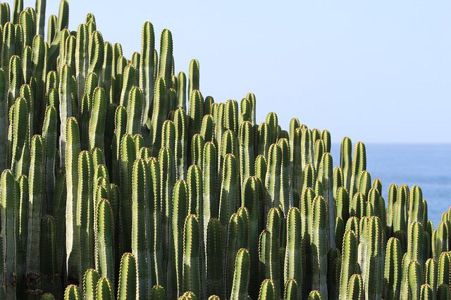 Cactus, Plant, Spur, Prickly, Green, Sea, Thorns