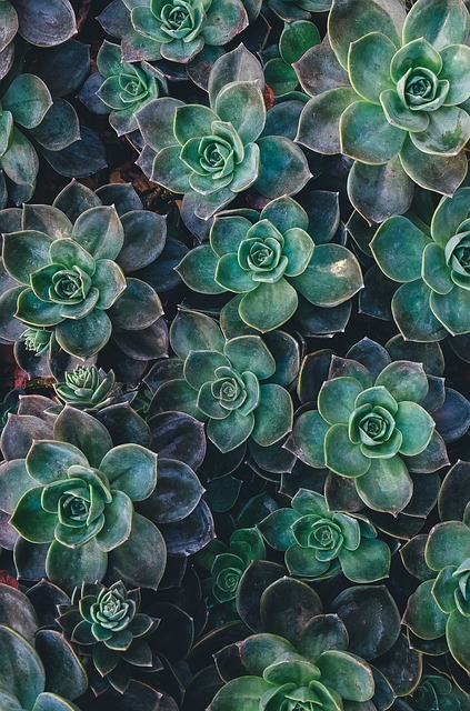 Succulent, Escheveria, Plant, Plant Growing, Arid