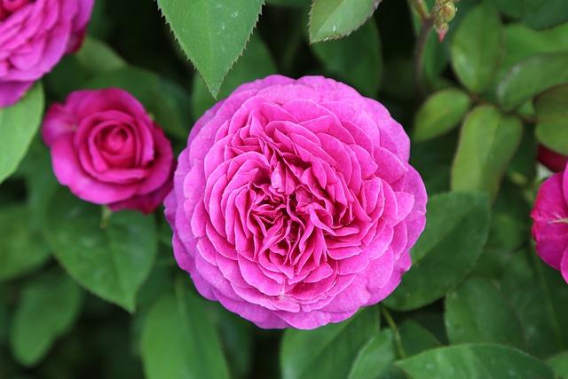 Rose, Gulpembe, Pink Roses, Flower, Plant