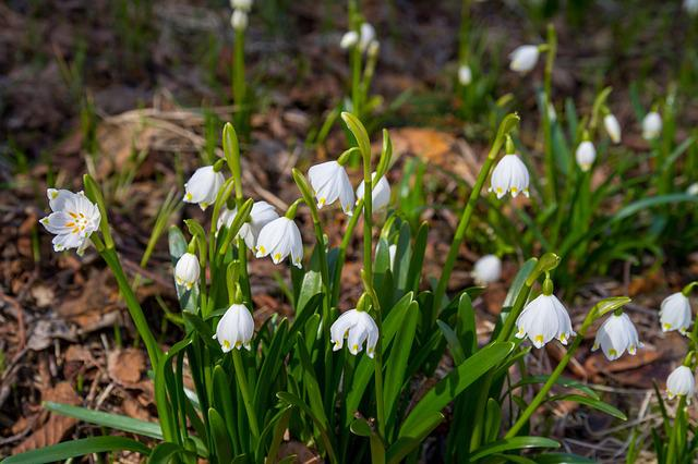 Flower, Snowdrop, Nature, Plant, Harbinger Of Spring