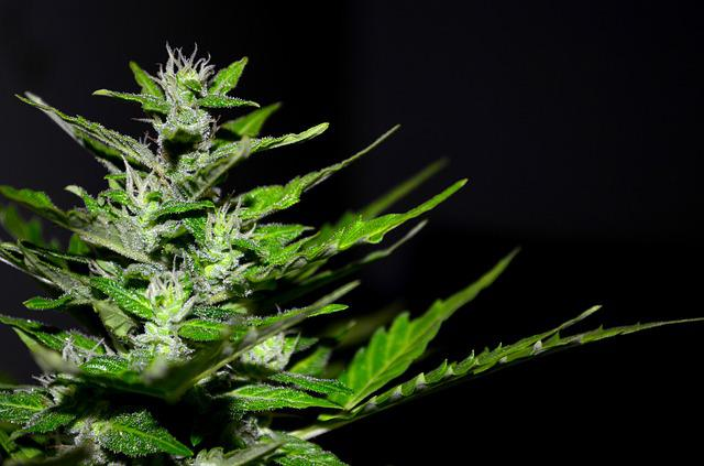 Cannabis, Hemp, Plant, Marijuana