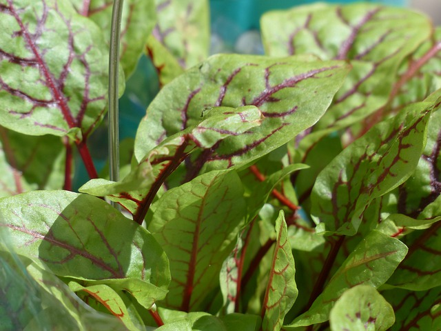 Blood Sorrel, Sorrel, Plant, Herb, Grove Sorrel