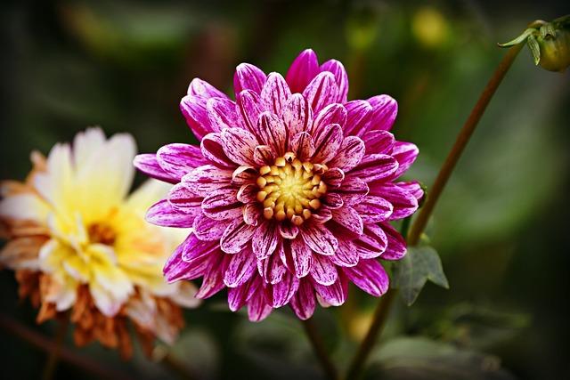 Dahlia Flower, Plant, Herbaceous, Perennial, Mexico