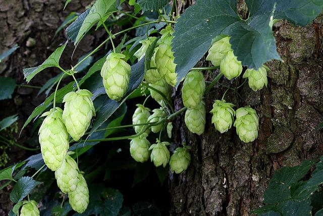 Hop Cones, Plant, Hop