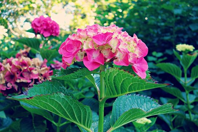 Hydrangea, Plant, Flower, Flowering Shrub, Hortensia