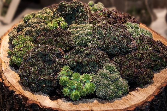 Sempervivum, Houseleek, Thick Sheet Greenhouse, Plant