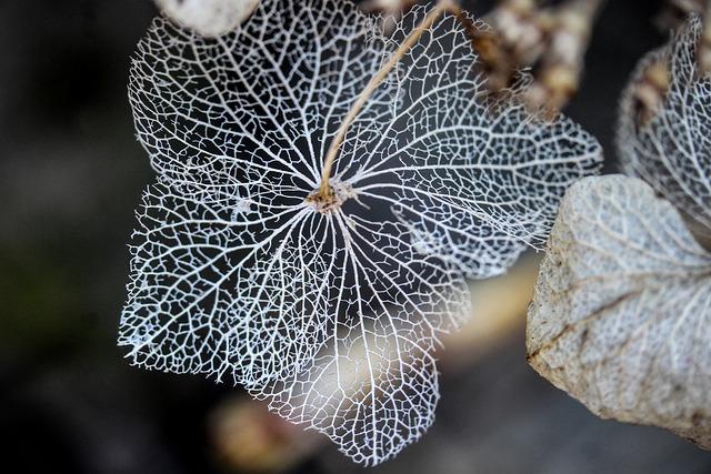 Hydrangea Flower, Plant, Nature, Passing Away