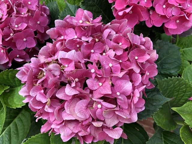 Hydrangea, Plant, Flower, Petal, Nature, Flowers