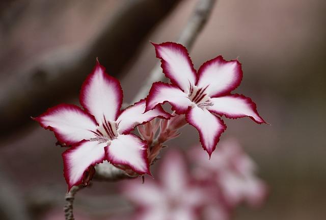 Flowers, Impala Lily, Plant, Adenium Multiflorum