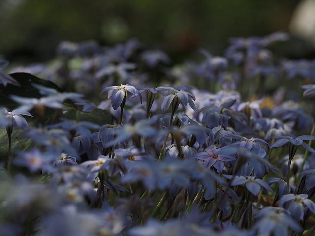 Ipheion Uniflorum, Flowers, Blue, Plant