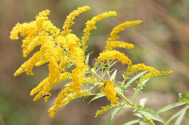 Golden Rod, Plant, Yellow, Late Summer, Flowers