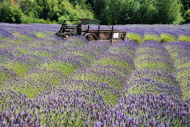 Free Photo Plant Lavender Nature Aroma Farm Purple Flowers Max Pixel