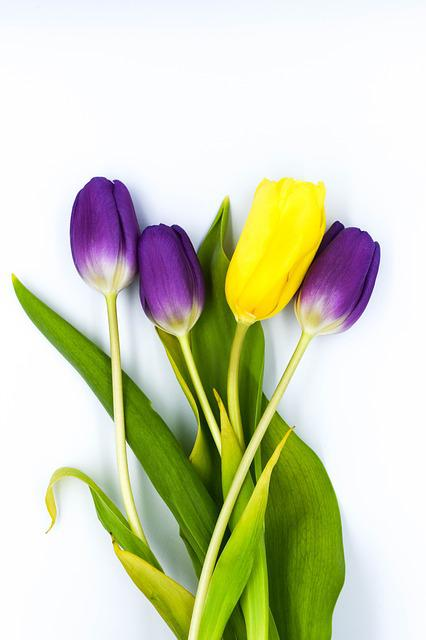 Nature, Easter, Flower, Plant, Leaf, Tulip, Tulips