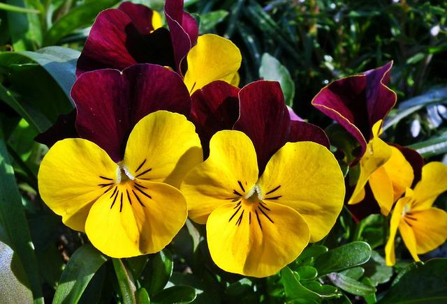 Flower, Pansies, Colorful, Spring, Garden, Plant, Leaf