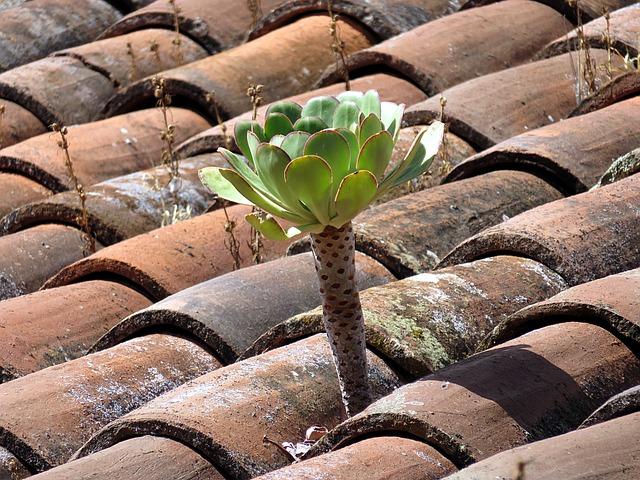 Plant, Roof, Leaf, Green, Aeonium
