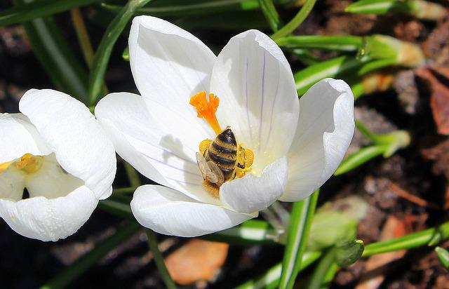 Nature, Flower, Plant, Leaf, Season, Krokus, Spring