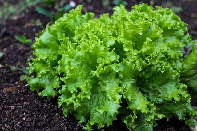Food, Lactuca Sativa, Vegetable, Plant, Leaf, Freshness