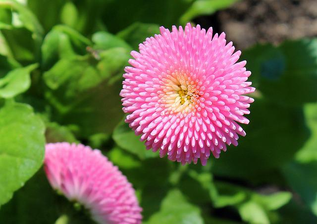 Daisy, Spring, Pink, Nature, Plant, Flower, Leaf