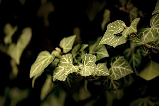 Leaf, Plant, Ivy, Nature