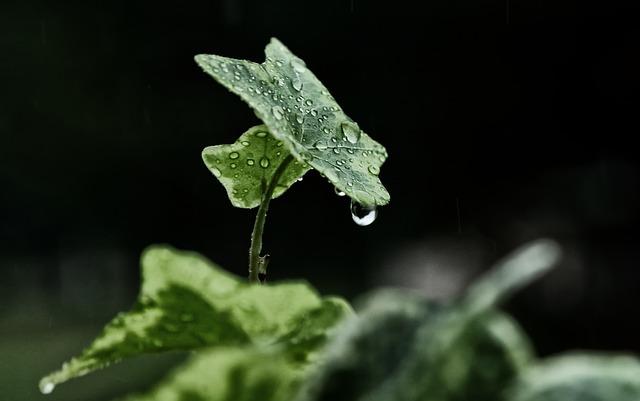Rain, Winters, Leaf, Nature, Ivy, Tree Leaf, Plant