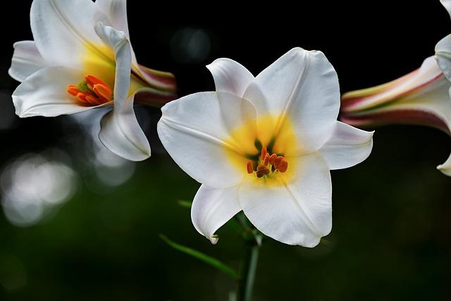 David-lily, Lily, White, Flowers, Lilium Davidii, Plant