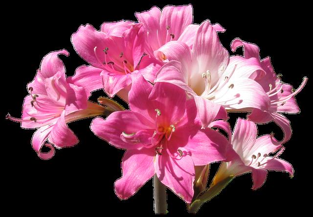 Belladonna, Lily, Flowers, Summer, Plant, Garden