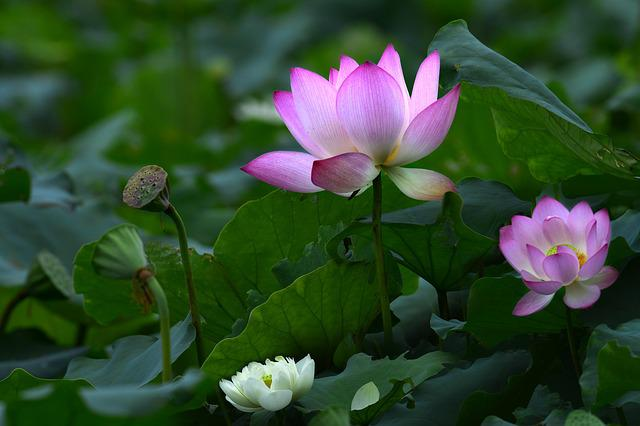 Flower, Eli Lilly And Company, Plant, Lotus