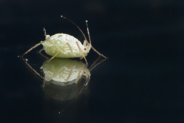 Plant Louse, Louse, Grüne, Plant Lice, Aphids, Lice