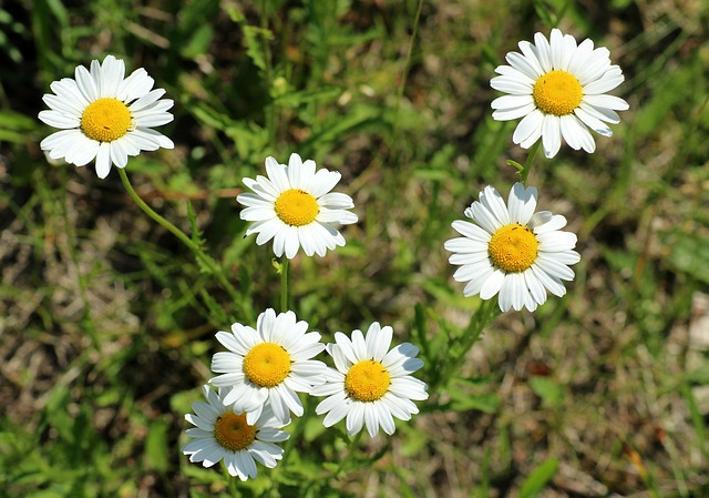 Margaretki, Daisies, Flower, Plant, Meadow, Flowers