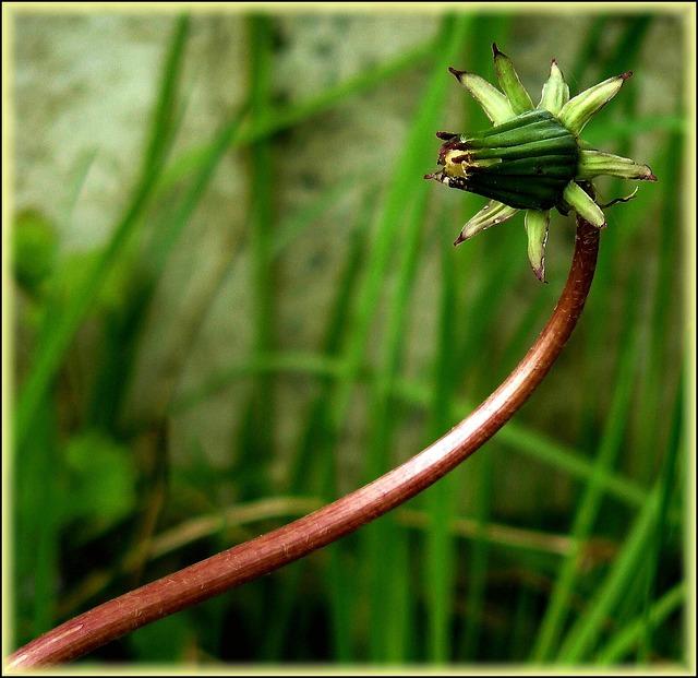 Dandelion, Flower, Roadside, Plant, Meadow