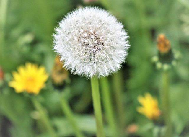 Sonchus Oleraceus, Dandelion, Nuns, Plant, Meadow