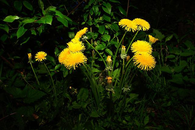 Dandelion, Flowers, Yellow, Dandelions, Plant, Meadow