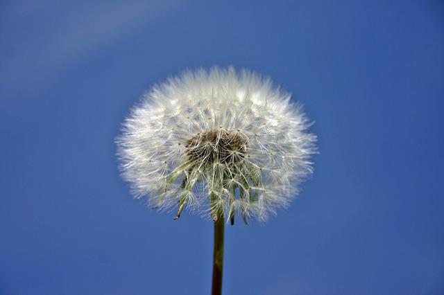 Dandelion, Plant, Nature, Meadow, Spring, Sky, Close Up