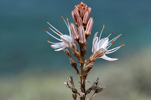 Flora, Plant, Mallorca, Asphodel, Mediterranean