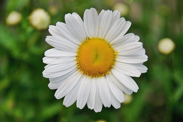 Floral, Daisy, Blossom, Plant, Natural, Bloom, Petal