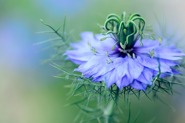 Flowers, Nigella, Plant, Natural, Ragged Lady