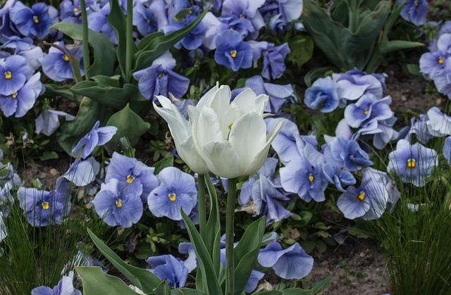 Tulip, Blossom, Bloom, Flower, Nature, Plant, Garden