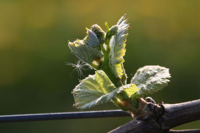 Grapevine, Plant, Bud, Nature, Close