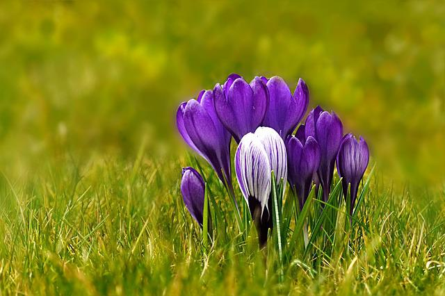 Nature, Plant, Spring Flower, Crocus, Blue, White